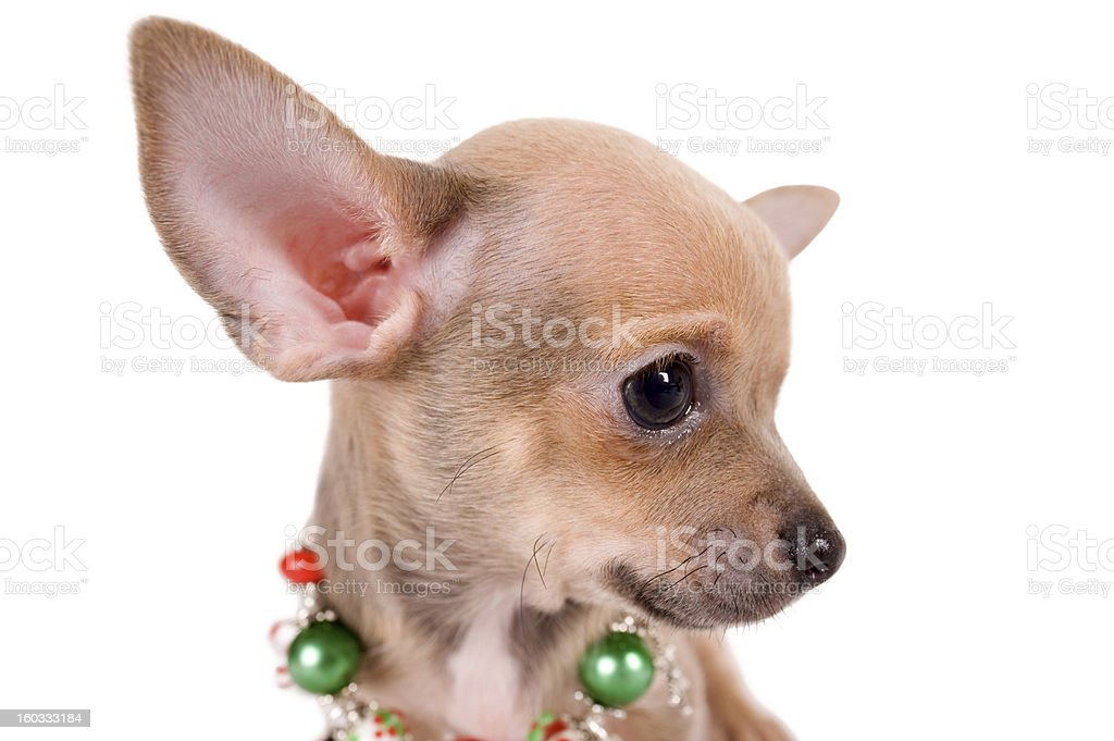 portrait chihuahua puppy on white background royalty-free stock photo