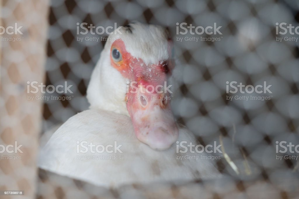 Portrait Close Up Of Cute Female White Mother Muscovy Duck