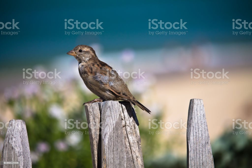 portrait close up of hungry sparrow sitting on wooden fence stealing food in beach restaurant stock photo