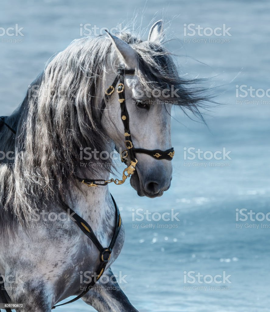 Portrait close up Spanish purebred gray horse with long mane stock photo