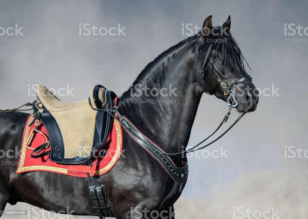 Portrait closeup of black Spanish horse with portudal saddle. stock photo