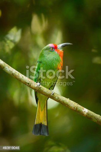istock Portrait closeup of  Red-bearded Bee-eater 492819045