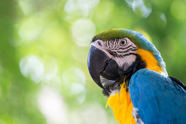portrait colorful macaw parrot portrait colorful of blue macaw parrot bird in nature with copy space parrot stock pictures, royalty-free photos & images