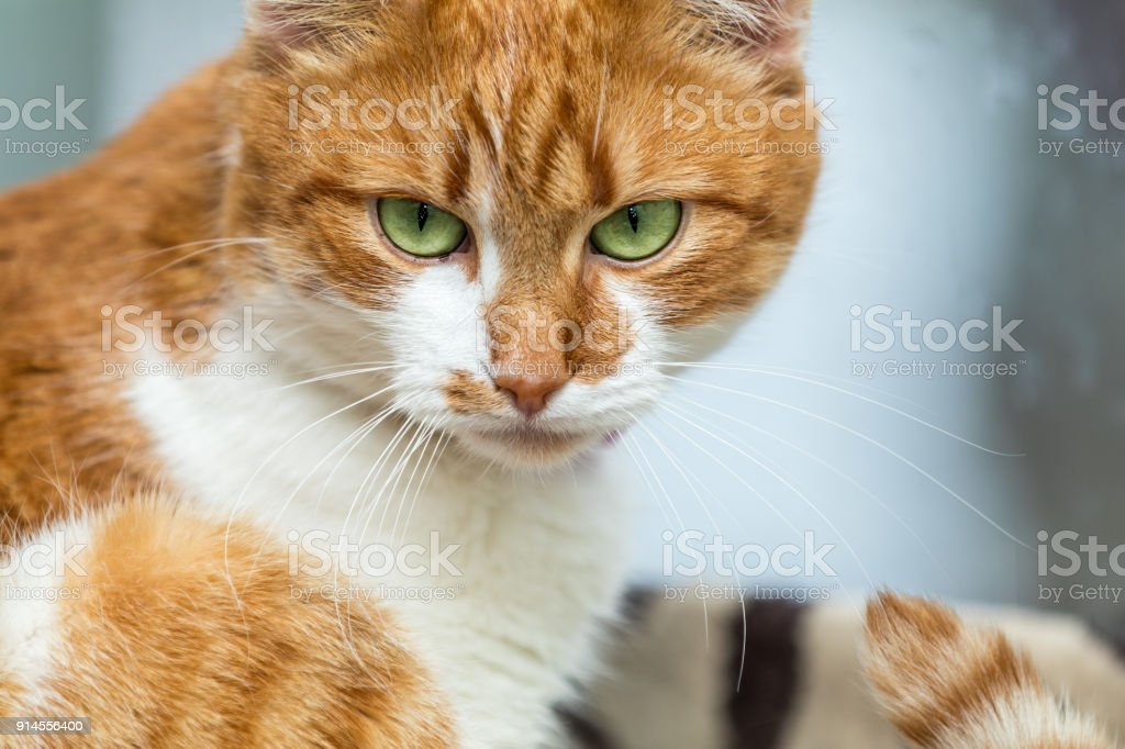 Portrait cut funny white-and-red cat close up. Shallow depth of field, green cat yes in the focus. stock photo