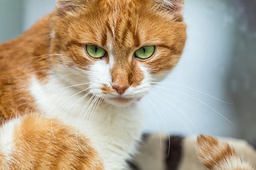 Portrait Cut Funny Whiteandred Cat Close Up Shallow Depth Of Field Green Cat Yes In The Focus Stock Photo & More Pictures of Animal