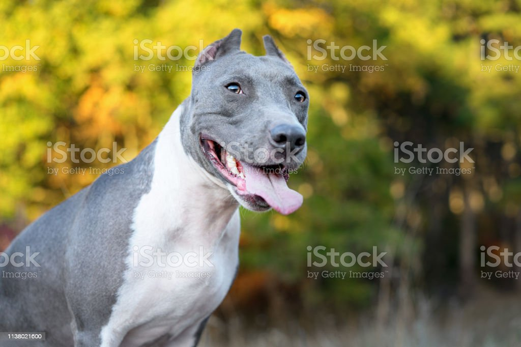 blue american staffordshire terrier