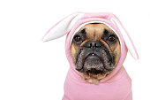 Portrait cute French Bulldog dog girl in a pink easter bunny costume on white background
