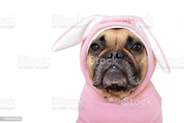 Portrait cute french bulldog dog girl in a pink easter bunny costume picture id1095596232?b=1&k=6&m=1095596232&s=612x612&h=hppht59reif2uwnuz 3hcamg7zwigr563d66i2edg 8=