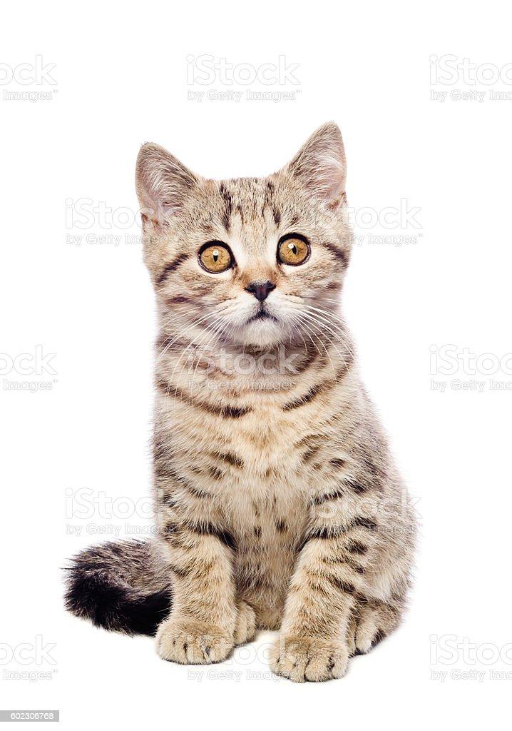 Portrait cute kitten Scottish Straight stock photo