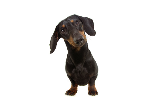 Portrait dachshund dog puppy with big ears tilting head side. Isolated on white bacground.