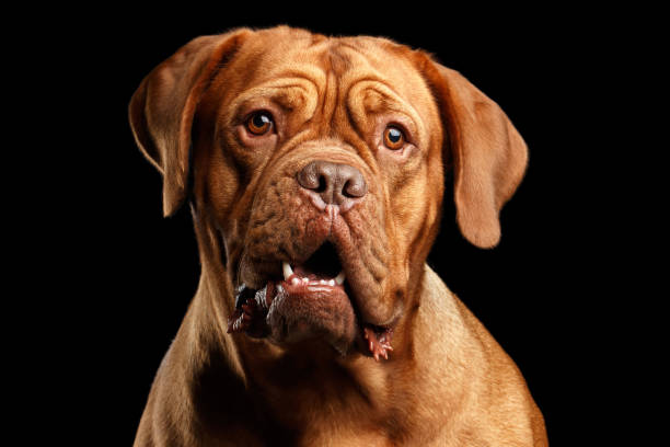 portrait dog of breed dogue de bordeaux isolated on black background - animal eye stock pictures, royalty-free photos & images