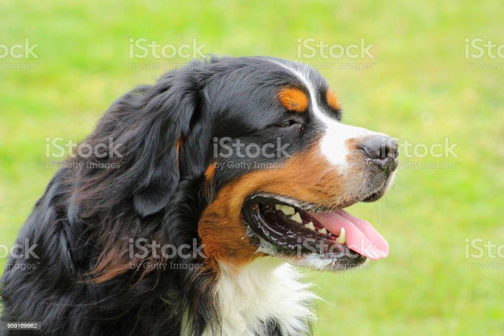portrait d'un chien de race bouvier bernois qui pousse la langue à cause de la chaleur stock photo