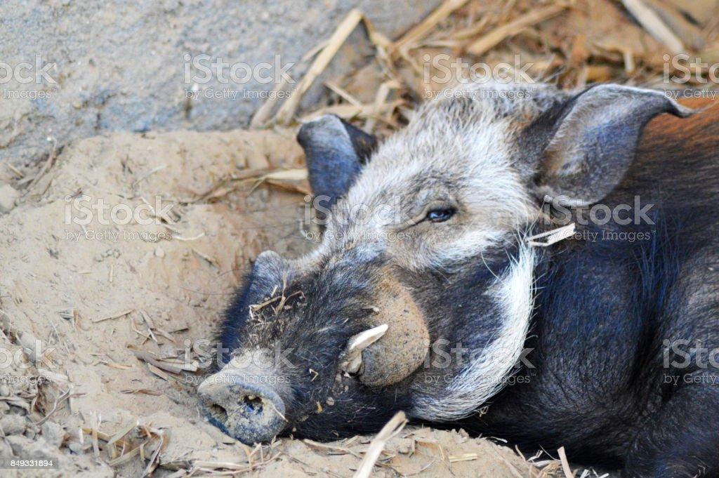 Portrait d'un Sanglier ou potamochère sauvage de Madagascar stock photo