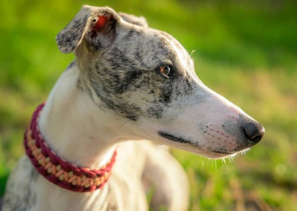 Portrait einer eine Whippet Hündin im Sonnenuntergang seitlich eAufnahme einer wunderschönen, jungen Whippet (Windhund) Hündin sight hound stock pictures, royalty-free photos & images