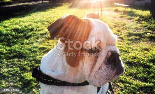 istock Portrait: English Bulldog in bright sunlight, outdoors, close-up 628469946