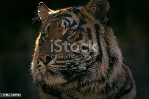 istock Portrait face tiger with dark background 1287908299