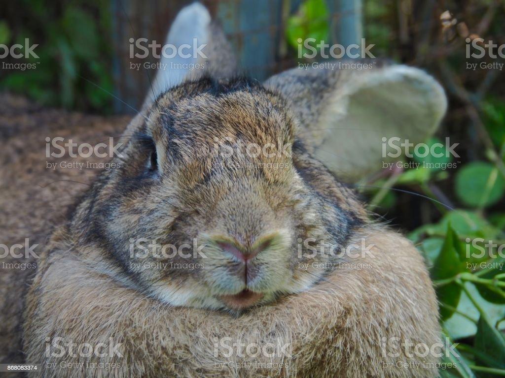 Portrait Flemish Giant Rabbit In Garden Stock Photo