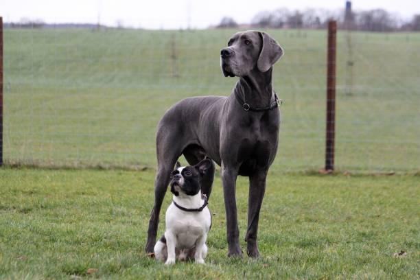 Porträt von eine Deutsche Dogge und eine französische Bulldogge im Garten – Foto