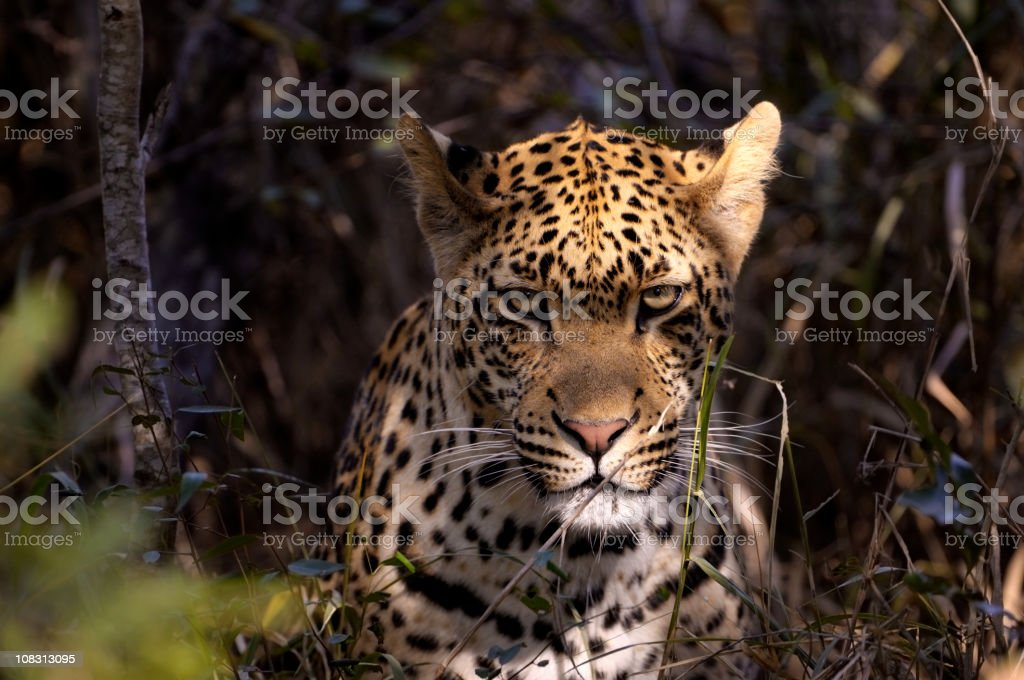 Portrait from an angry male leopard stock photo