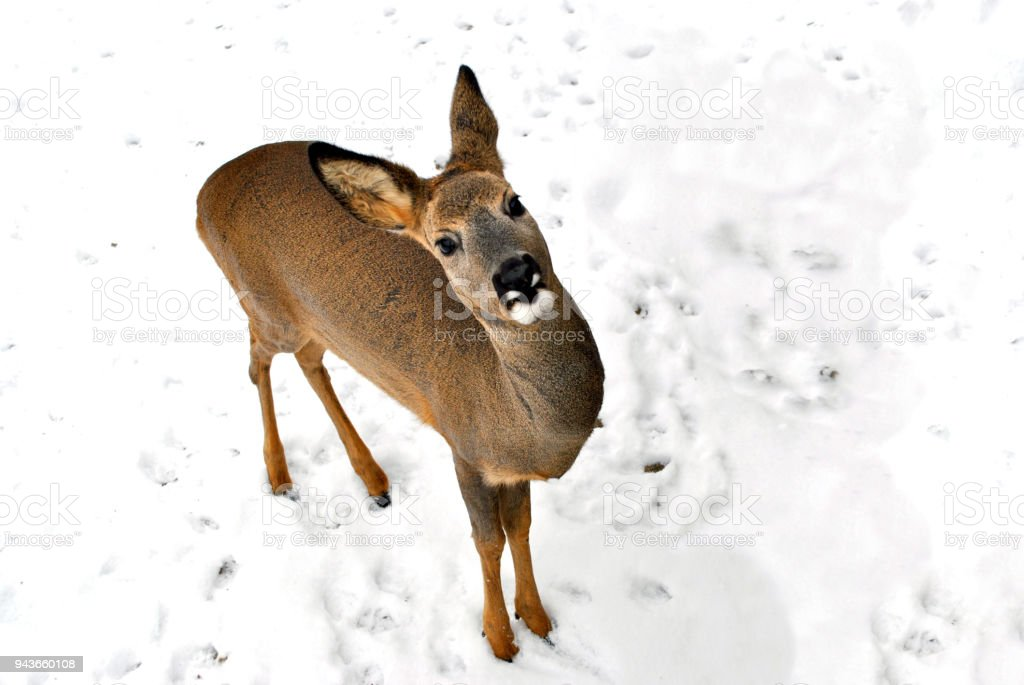 Portrait from the upper angle of a little wild fawn on a snowy background stock photo