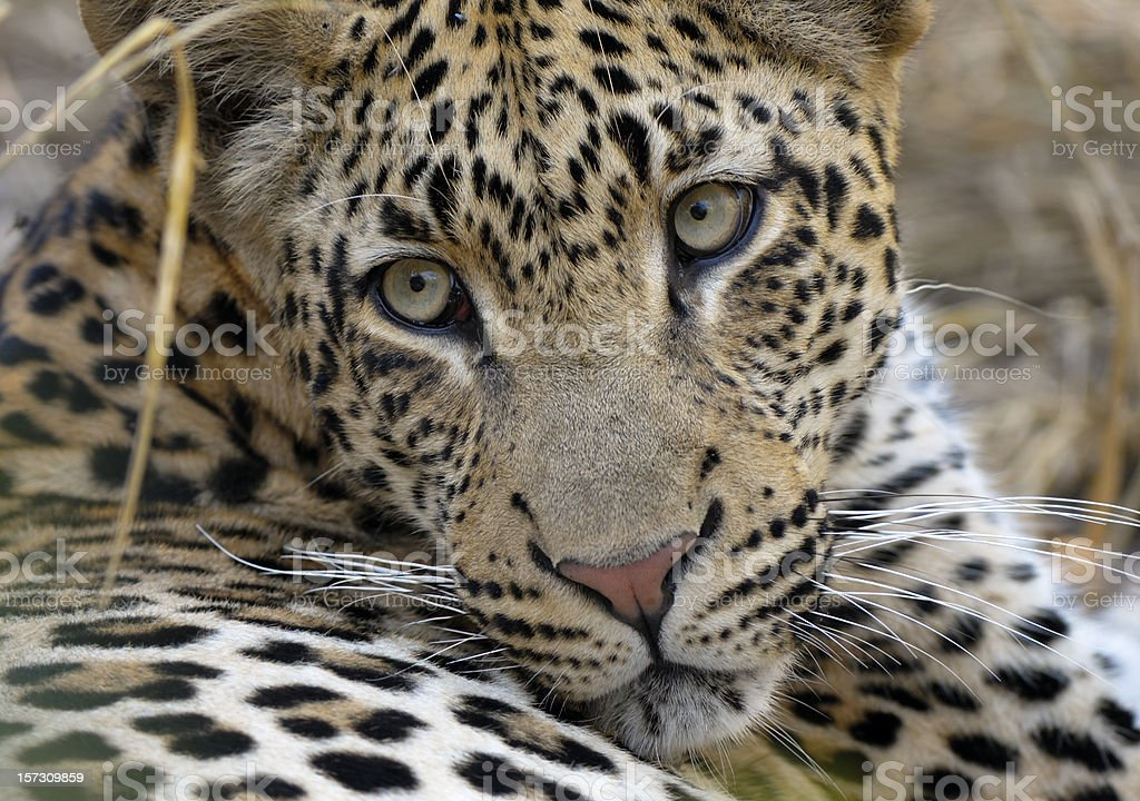 Portrait from Tjololo the world's most famous Leopard royalty-free stock photo