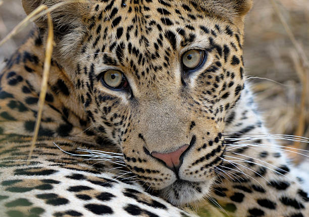 Portrait from Tjololo the world's most famous Leopard  transvaal province stock pictures, royalty-free photos & images