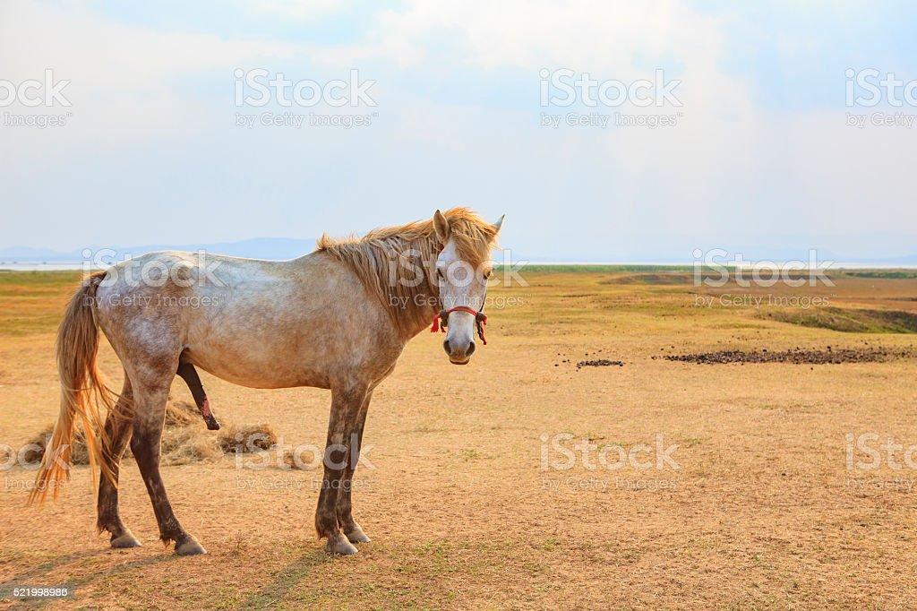 Portrait Full Body Of Beautiful White Male Horse Stock Photo More