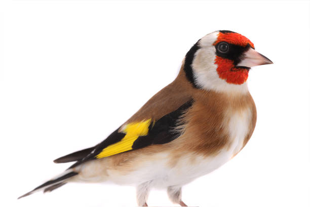 portrait goldfinch isolated on a white stock photo