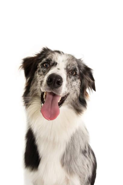 Portrait happy merle border collie dog isolated on white background picture id1169588342?b=1&k=6&m=1169588342&s=612x612&w=0&h=ulfsjqm1j3 grhmuwiuckjkkltd4ux2vknkdwb4annu=