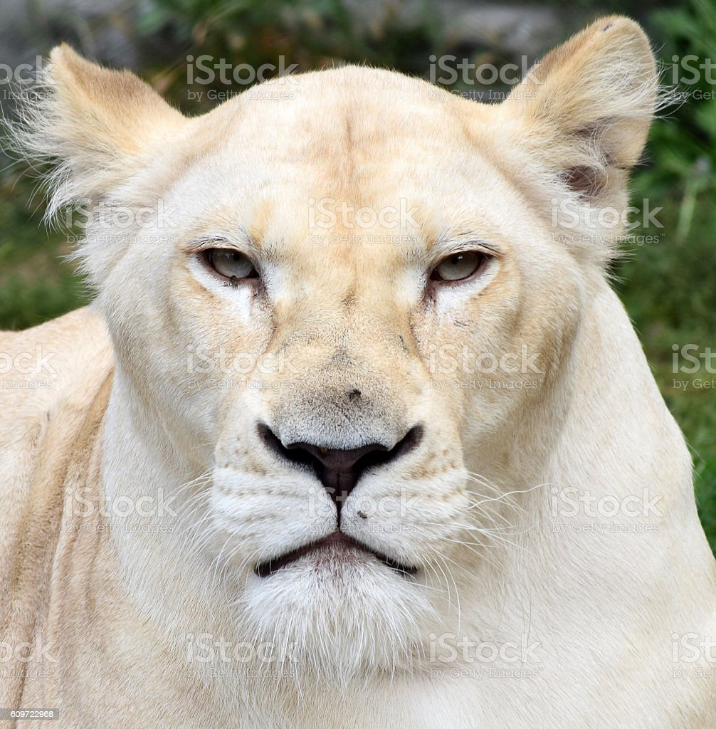 portrait head albino lioness stock photo
