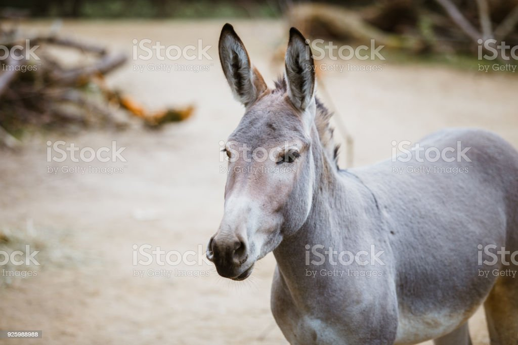 Portrait, head close-up of a wild gray donkey with white stripes eats stock photo