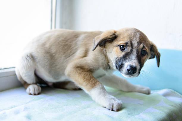 Retrato de cachorro pequeño - foto de stock