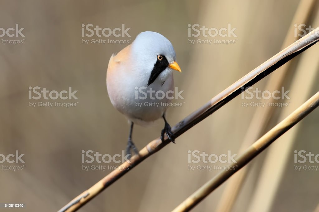 Portrait male bearded tit on the reed stock photo