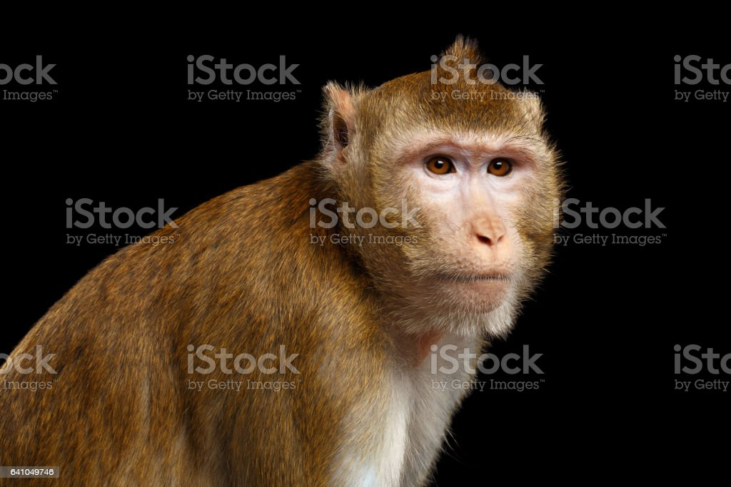 Portrait monkey, Long-tailed macaque, Crab-eating stock photo