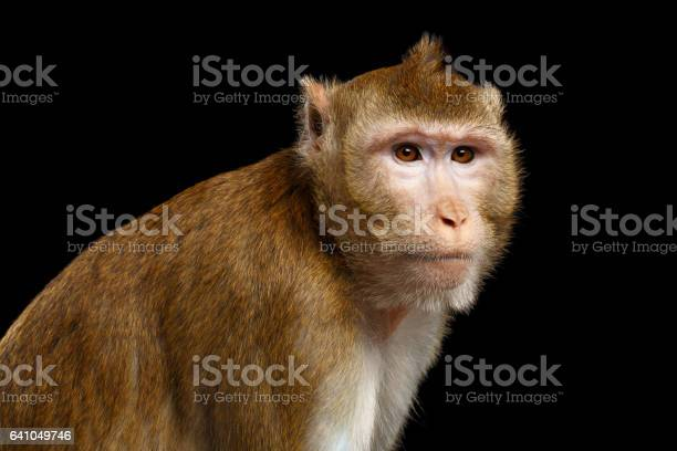 Portrait Monkey Longtailed Macaque Crabeating Stock Photo - Download Image Now