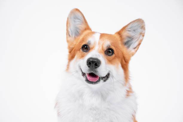 Portrait obedient dog breed welsh corgi pembroke smiling with tongue picture id1249235218?b=1&k=6&m=1249235218&s=612x612&w=0&h=jhxabmtrhrdcbgab5jkr o2 glse5fwwmsgqvt eioo=