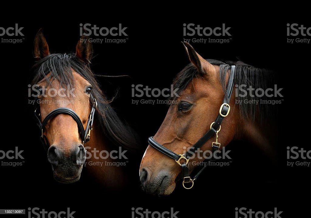 portrait of 2 horses royalty-free stock photo