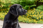 Very young black Labrador Retriever puppy posing in the garden. Pup is 9 weeks old.