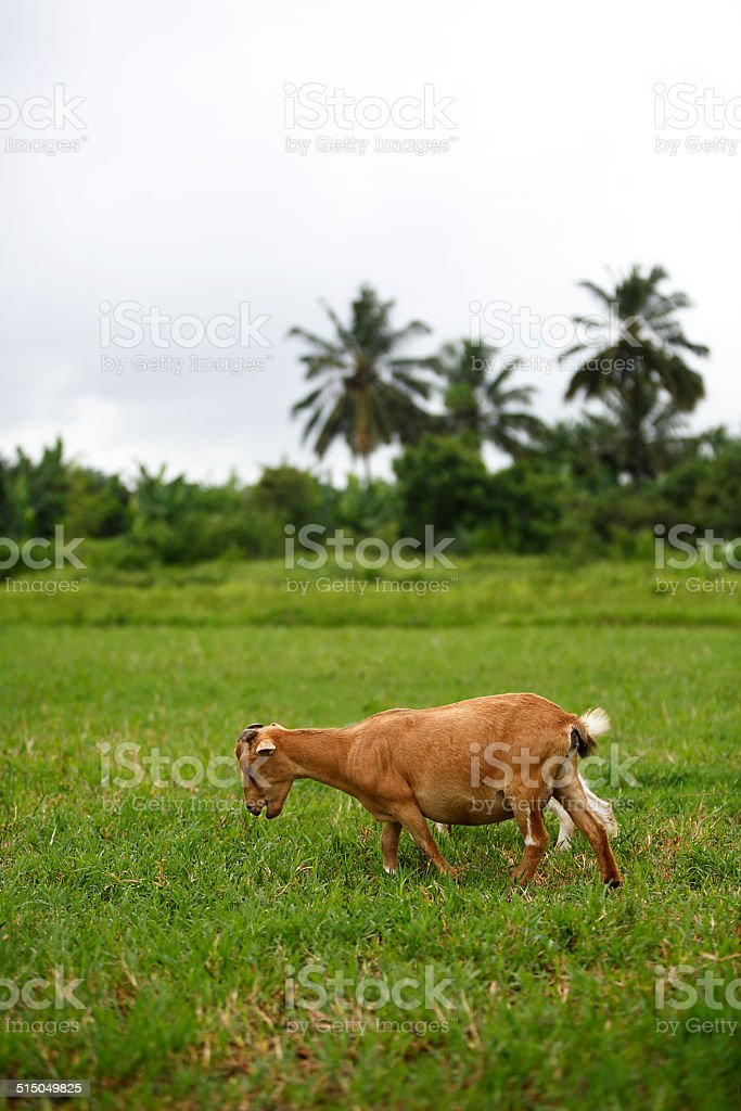 Portrait of a african goat stock photo