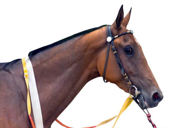 porträt eines akhal teke pferdes. - akhal teke stock-fotos und bilder