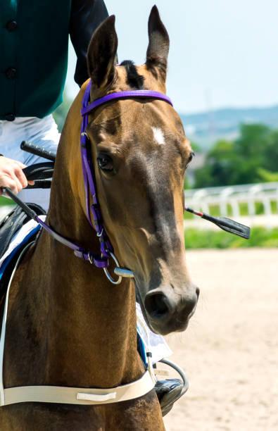 porträt eines akhal-teke pferdes. - akhal teke stock-fotos und bilder