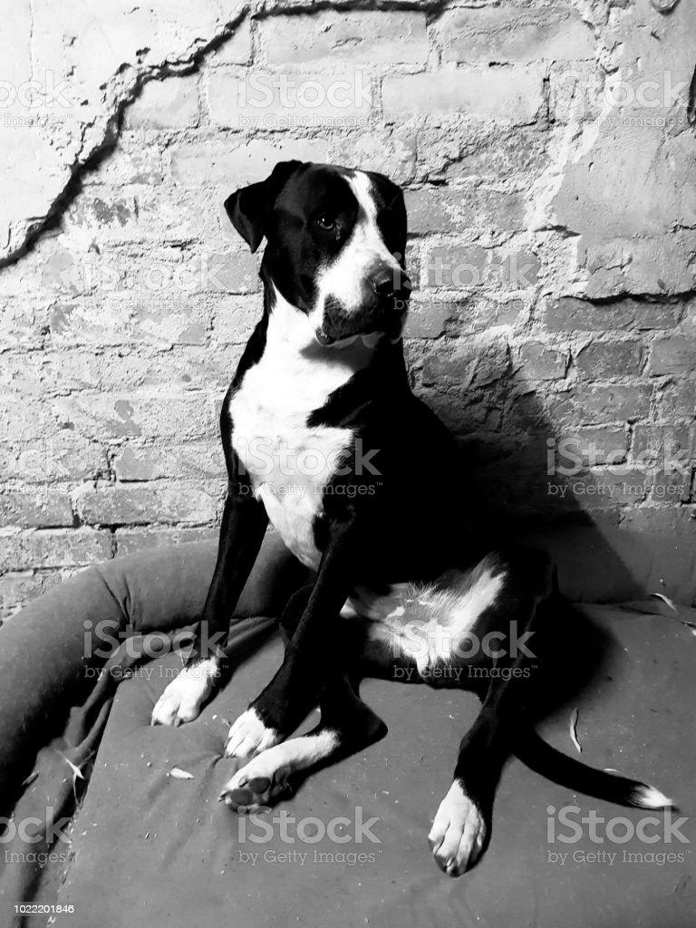 Foto De Retrato De Um Bulldog Americano Em Preto E Branco E Mais