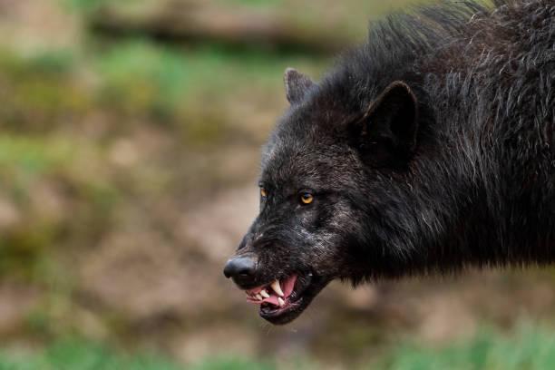 Porträtt av en arg timberwolf bildbanksfoto