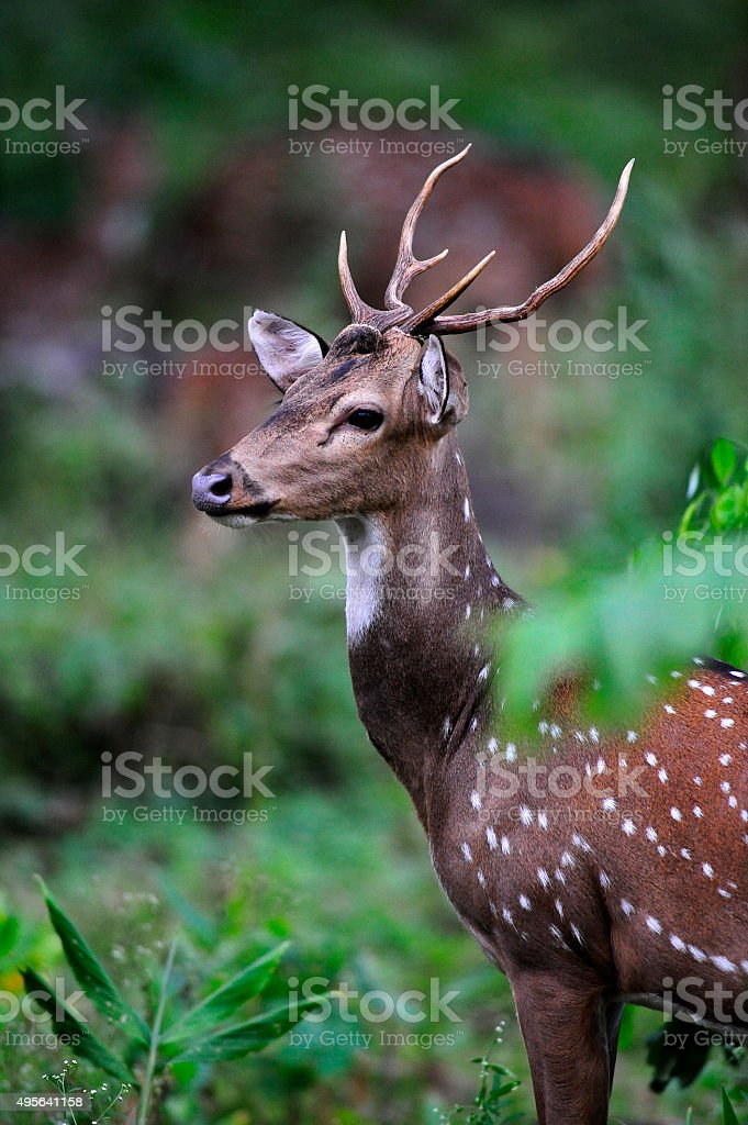 Portrait of a Axis Deer relaxing at a open glade stock photo