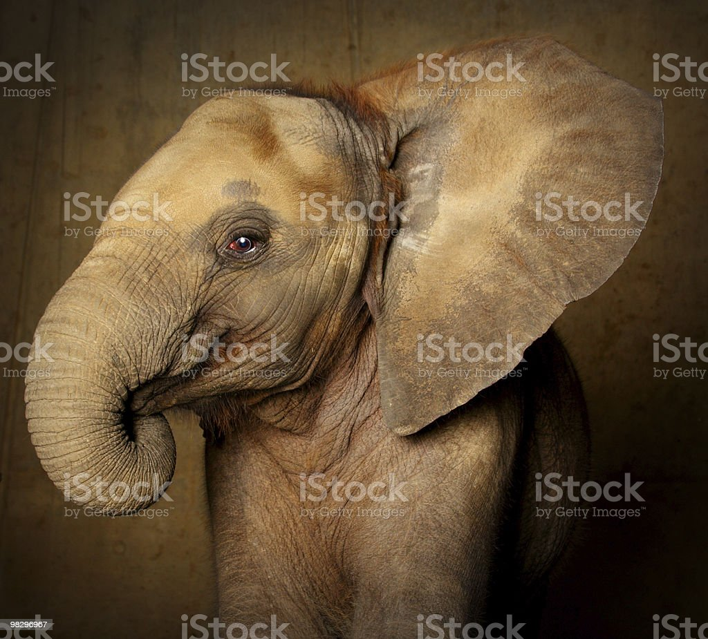 Portrait of a baby elephant in brown background royalty-free stock photo