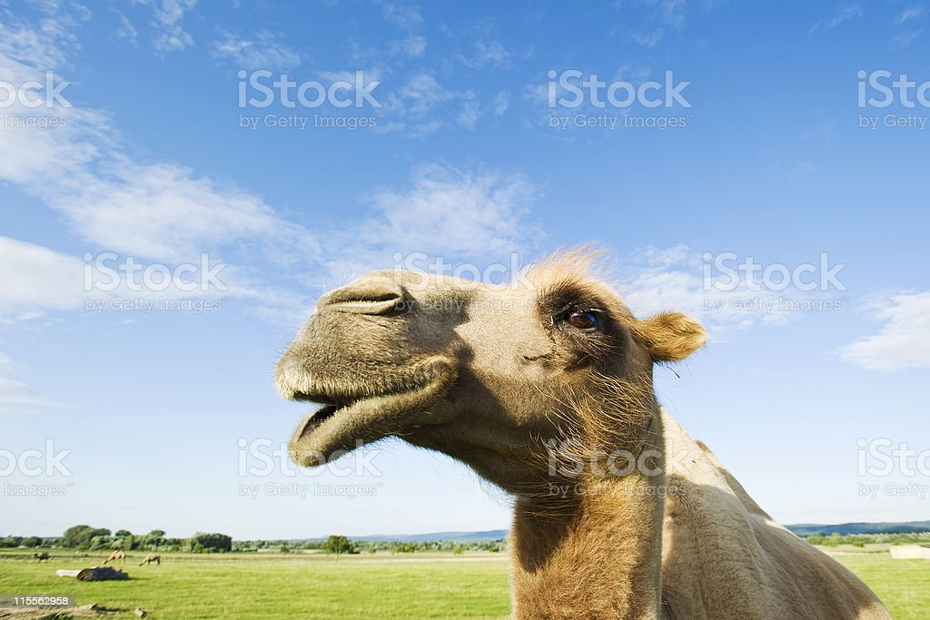 Portrait of a Bactrian Camel stock photo
