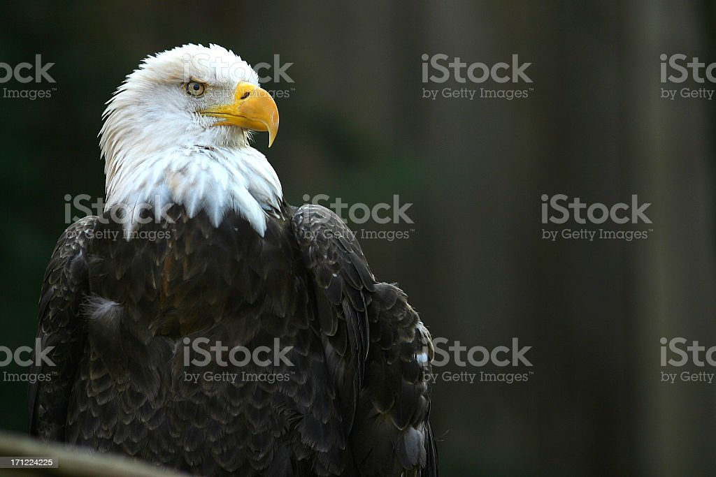 Portrait of a bald eagle outdoors royalty-free stock photo