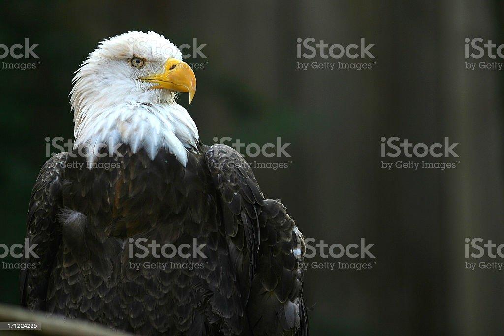 Portrait of a bald eagle outdoors stock photo
