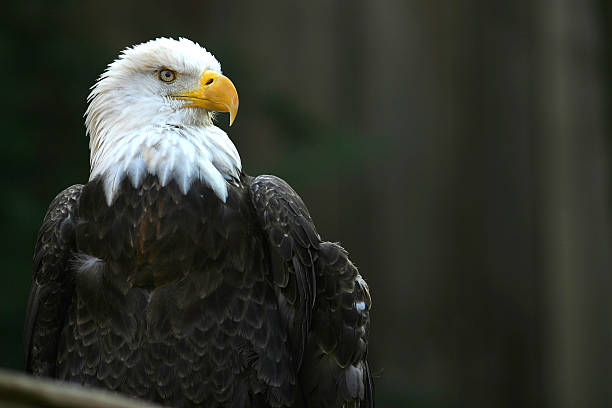 Portrait of a bald eagle outdoors stock photo