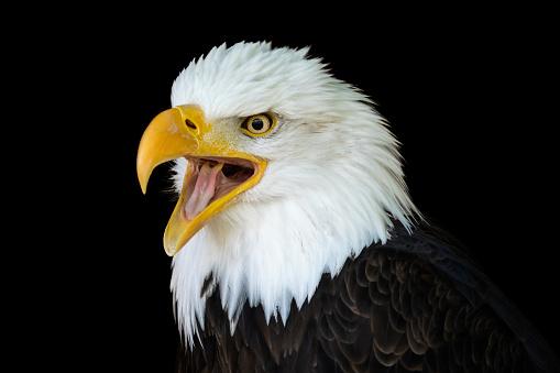 istock Portrait of a bald eagle (Haliaeetus leucocephalus) with an open beak isolated on black background 955950978